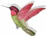 hummingbird LOGO point left CROPPED